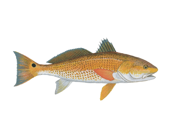 Red drum fish clipart clipart suggest for How to fish for redfish