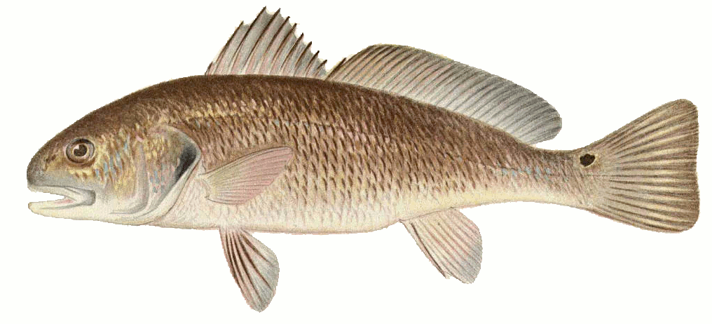 Fish B Bass Channel Bass Aka Red Drum  Sciaenops Ocellatus Png Html