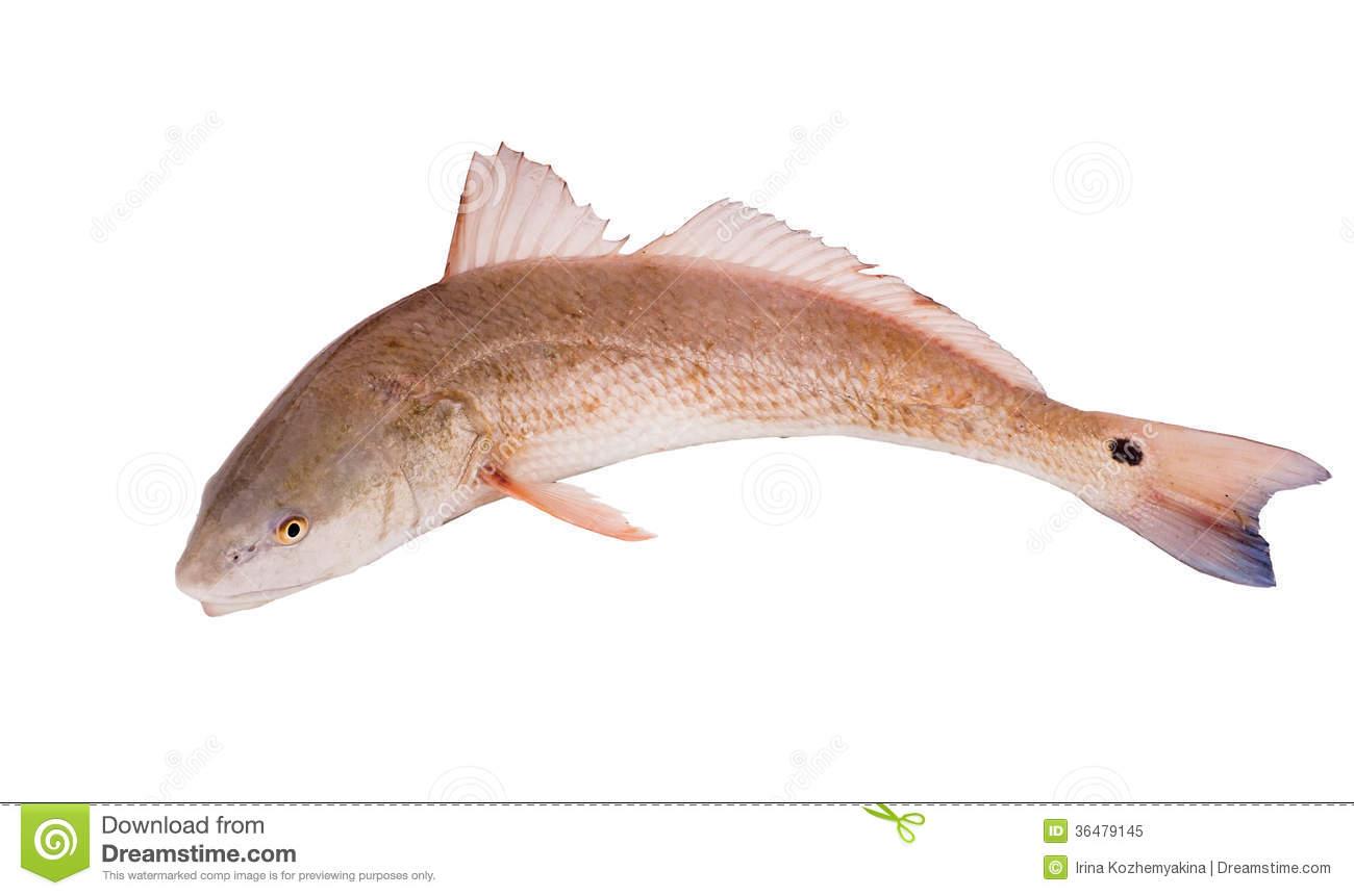 Red Drum Fish Clipart Red Drum Redfish  Sciaenops
