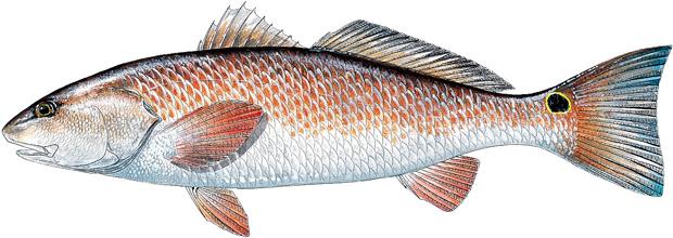 Red Drum  Redfish