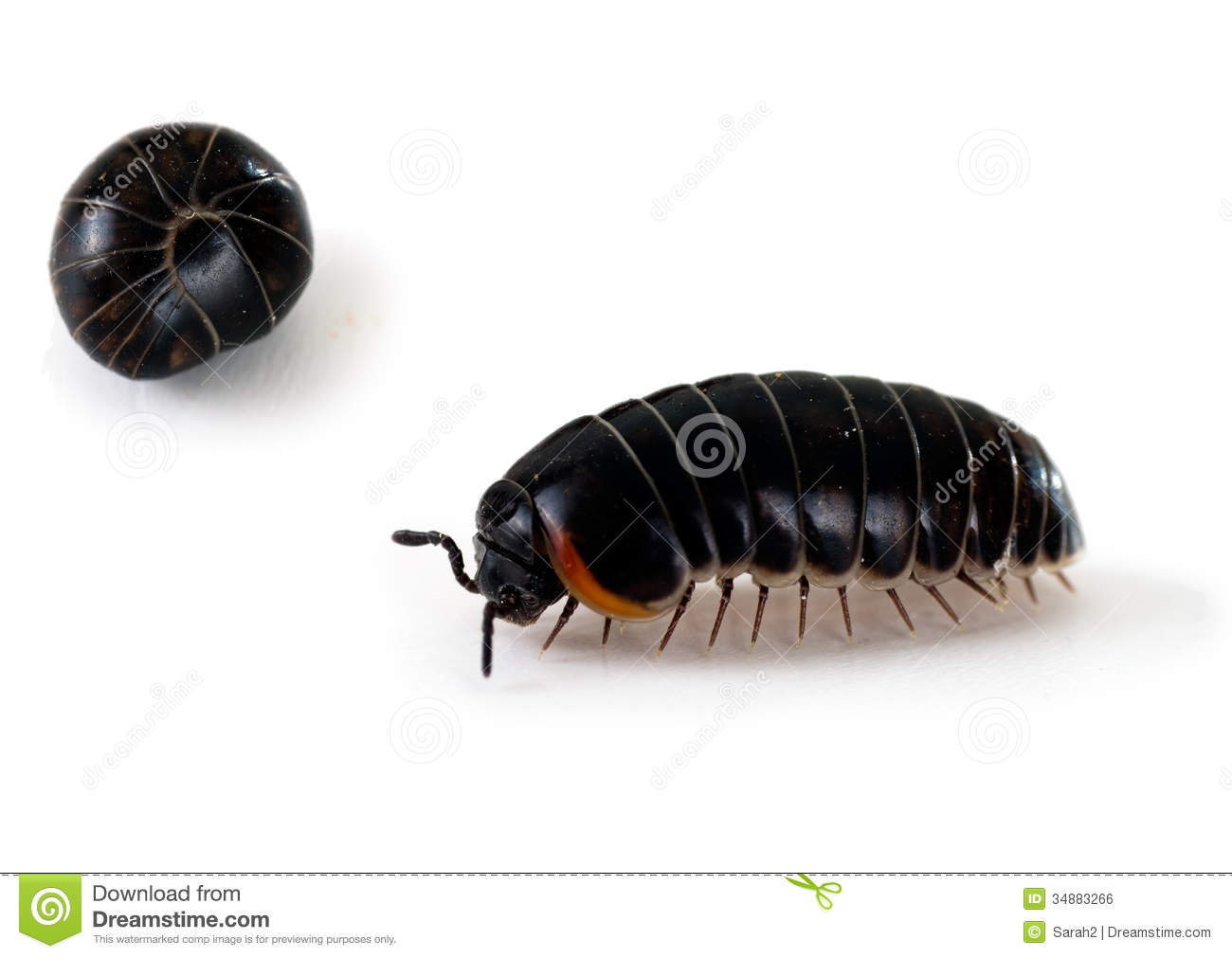 Armadillidium Woodlouse   Aka Pill Bug Roly Poly Macro Royalty Free
