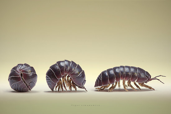 The Pill Bug Rolling Out Of A Ball