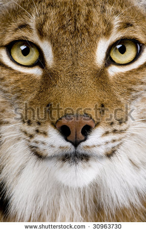 Related Pictures Image Search Bobcat Paw Print Clipart