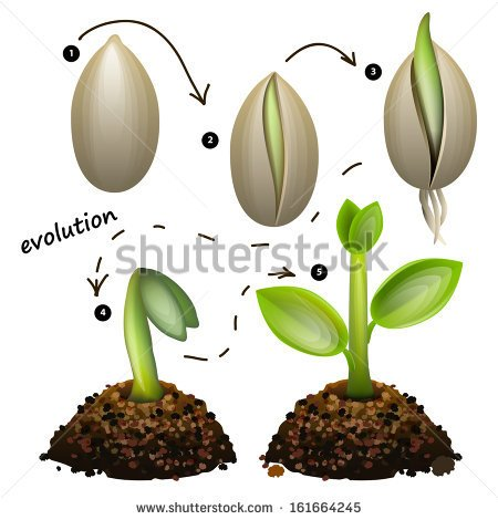Stages Of Plant Growth  Isolated On White Background   Stock Vector