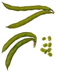 String Bean Plant Royalty Free Clipart Picture Pictures