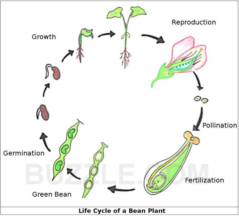 The Various Stages In The Life Cycle Of A Bean Plant Are Described