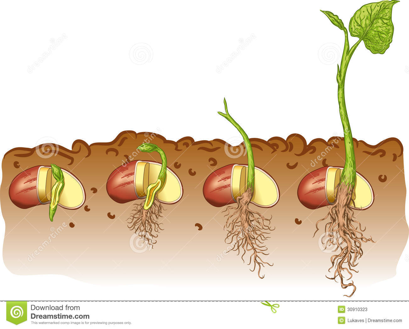 Vector Illustration Growth Of Bean Plants