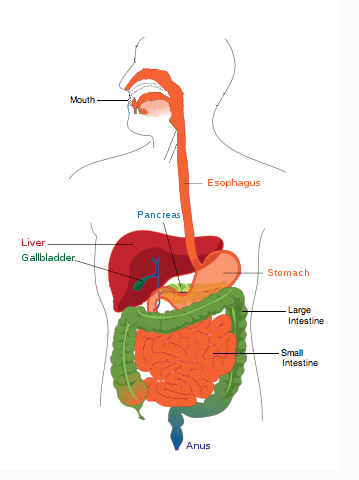 Digestive System Diagram Unlabeled   Clipart Best