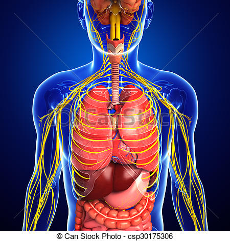 Nervous And Digestive System Artwork      Csp30175306   Search Clipart