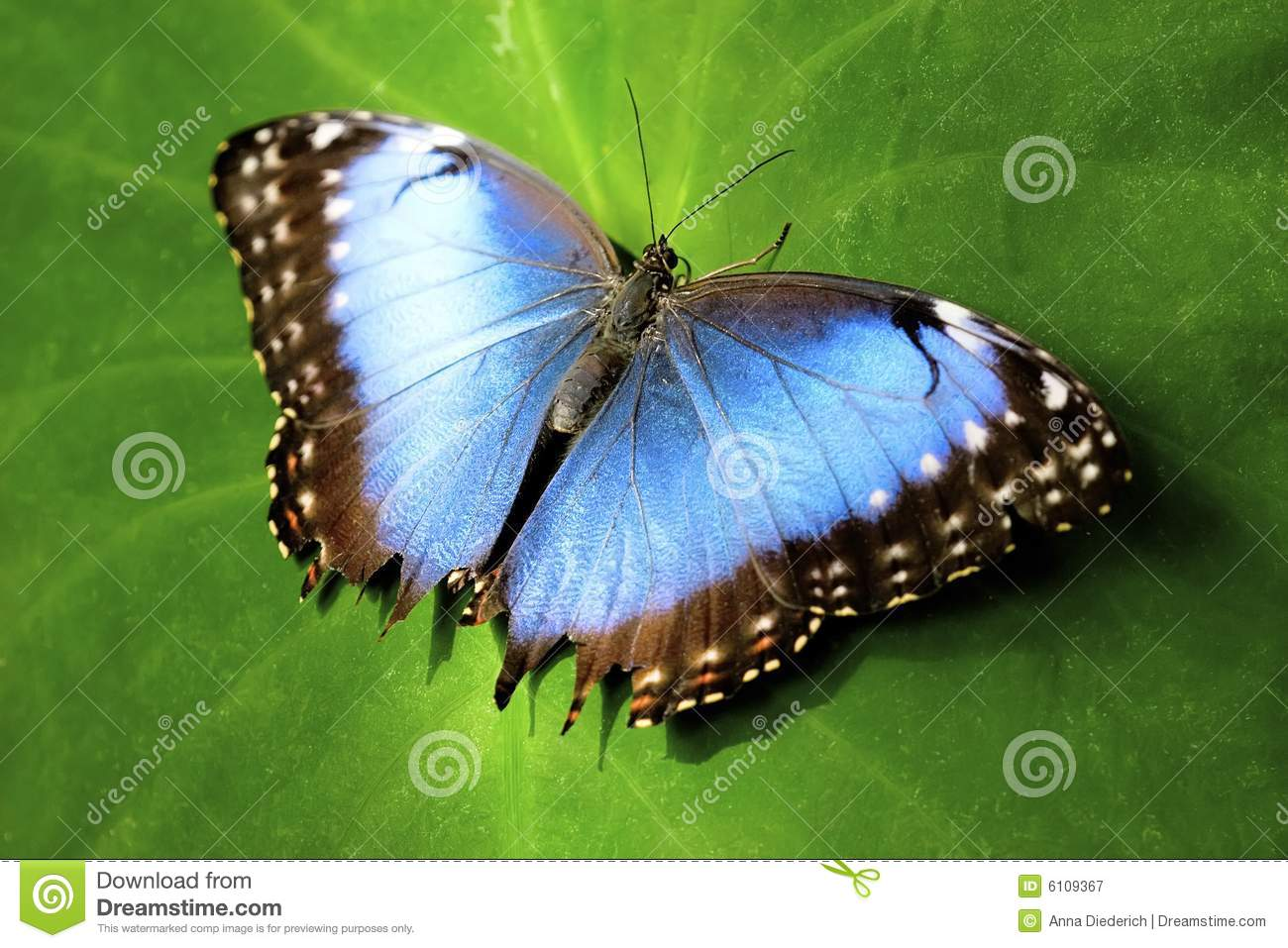 Blue Butterfly Royalty Free Stock Photography   Image  6109367