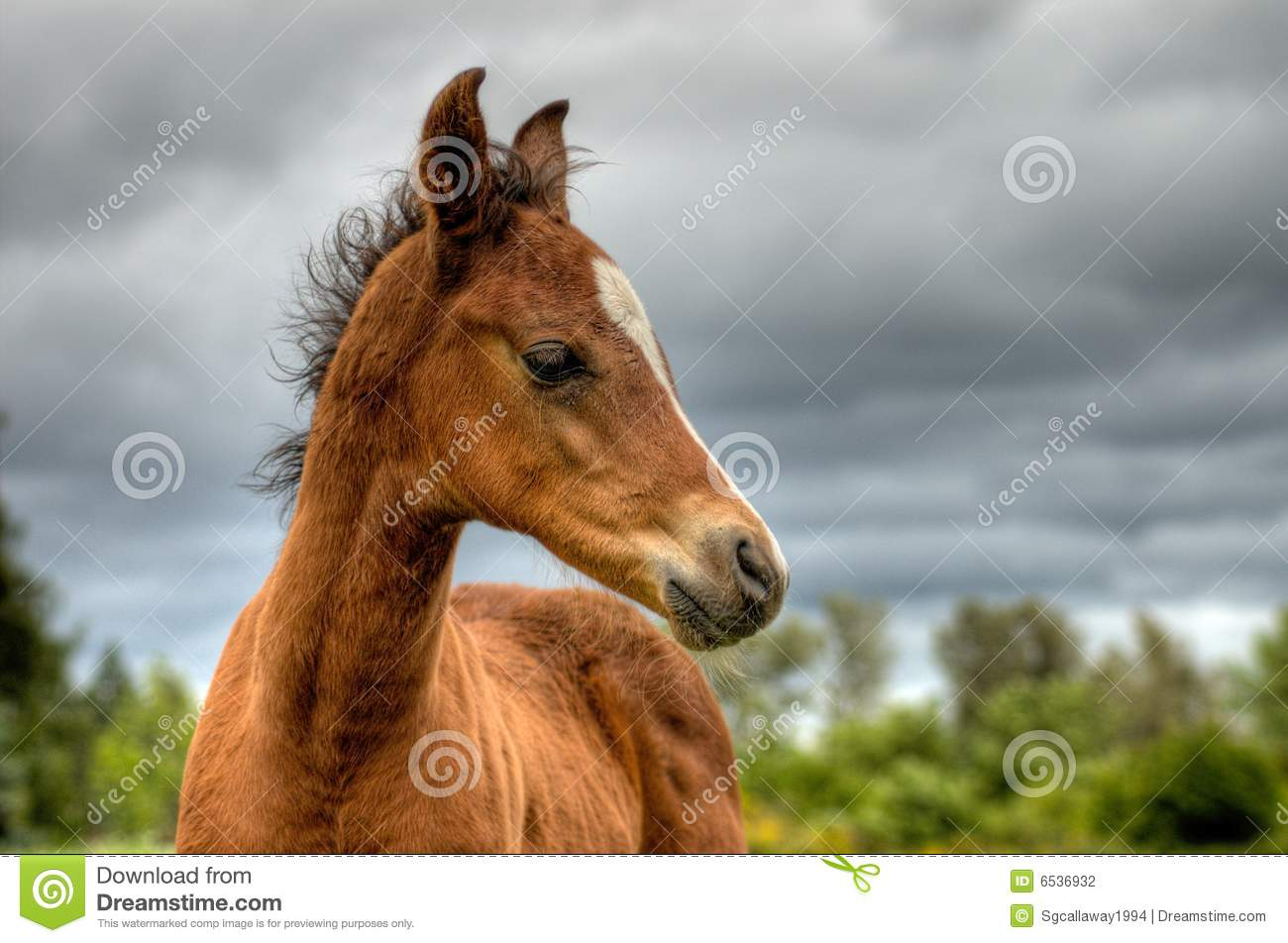 Colt Portrait Dramatic Sky Stock Photography   Image  6536932