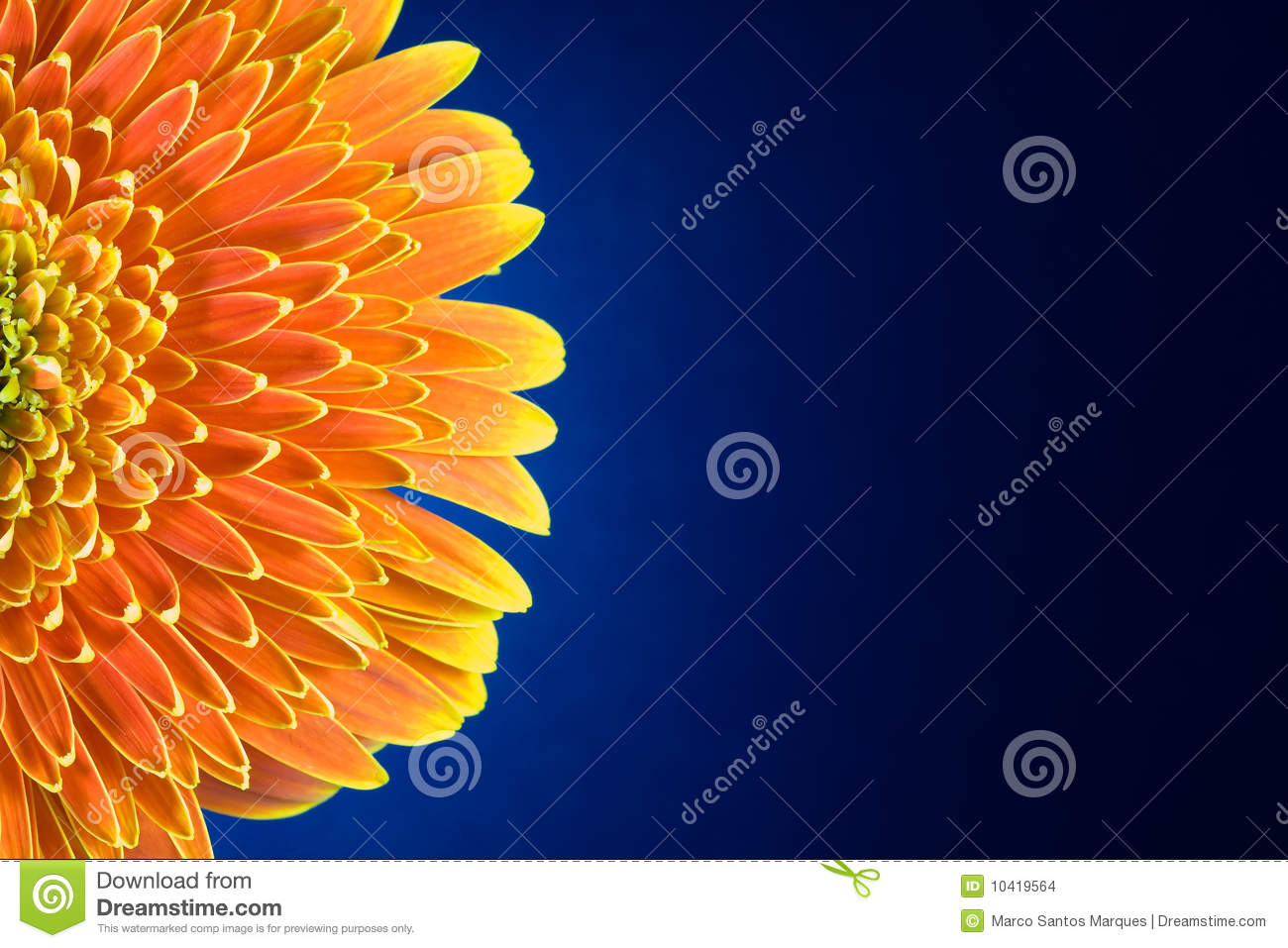 Gerbera Flower Leafs Over Blue Stock Images   Image  10419564