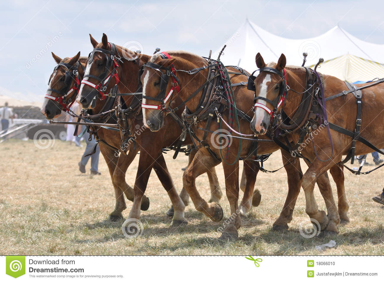 Belgian Draft Horses 4 Abreast On Hot Day Stock Photo   Image