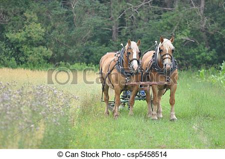 Photo Of Belgian Draft Horse Team Of Mares At Rest   Belgrin Draft