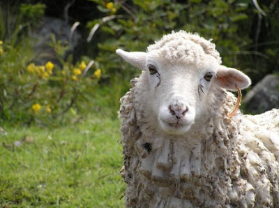 Sheep Face Profile An Adorable Sheep Face