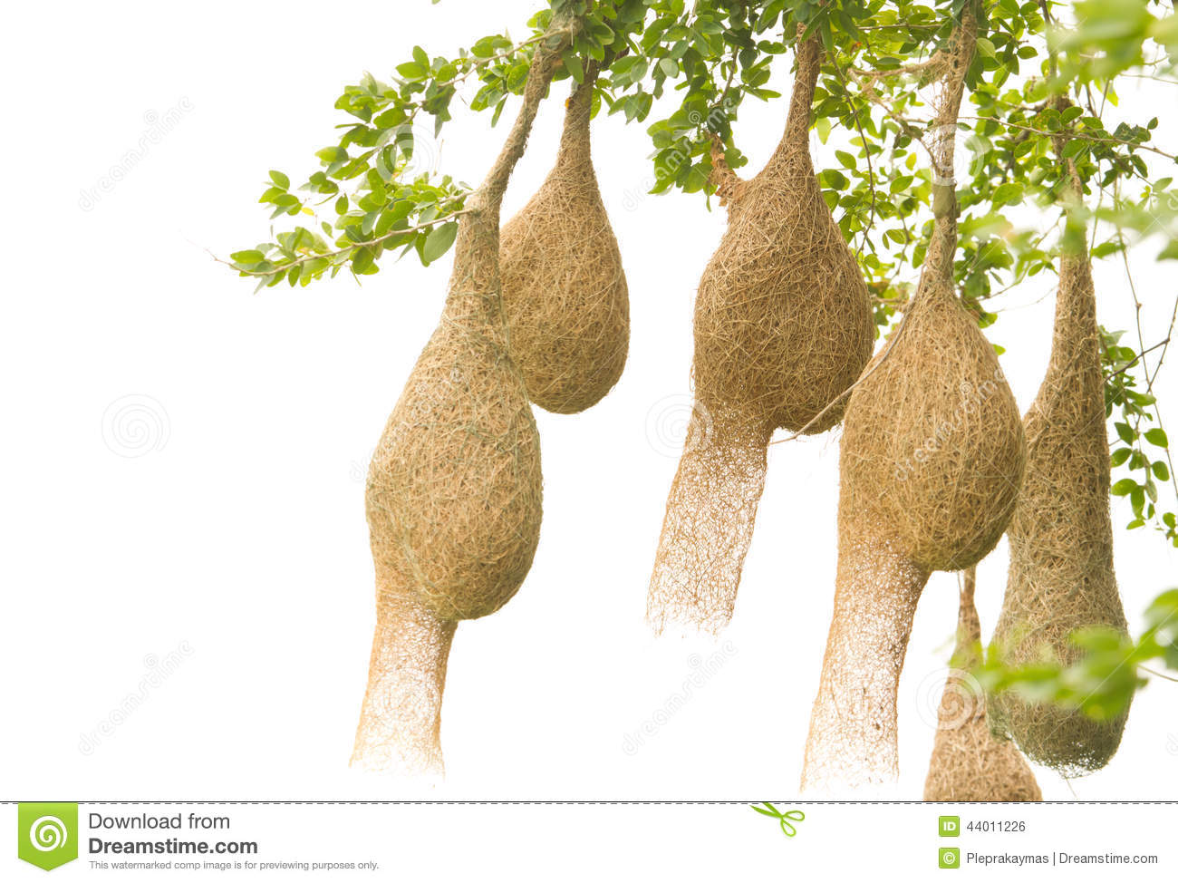 Baya Weaver Bird Nest Stock Photo   Image  44011226
