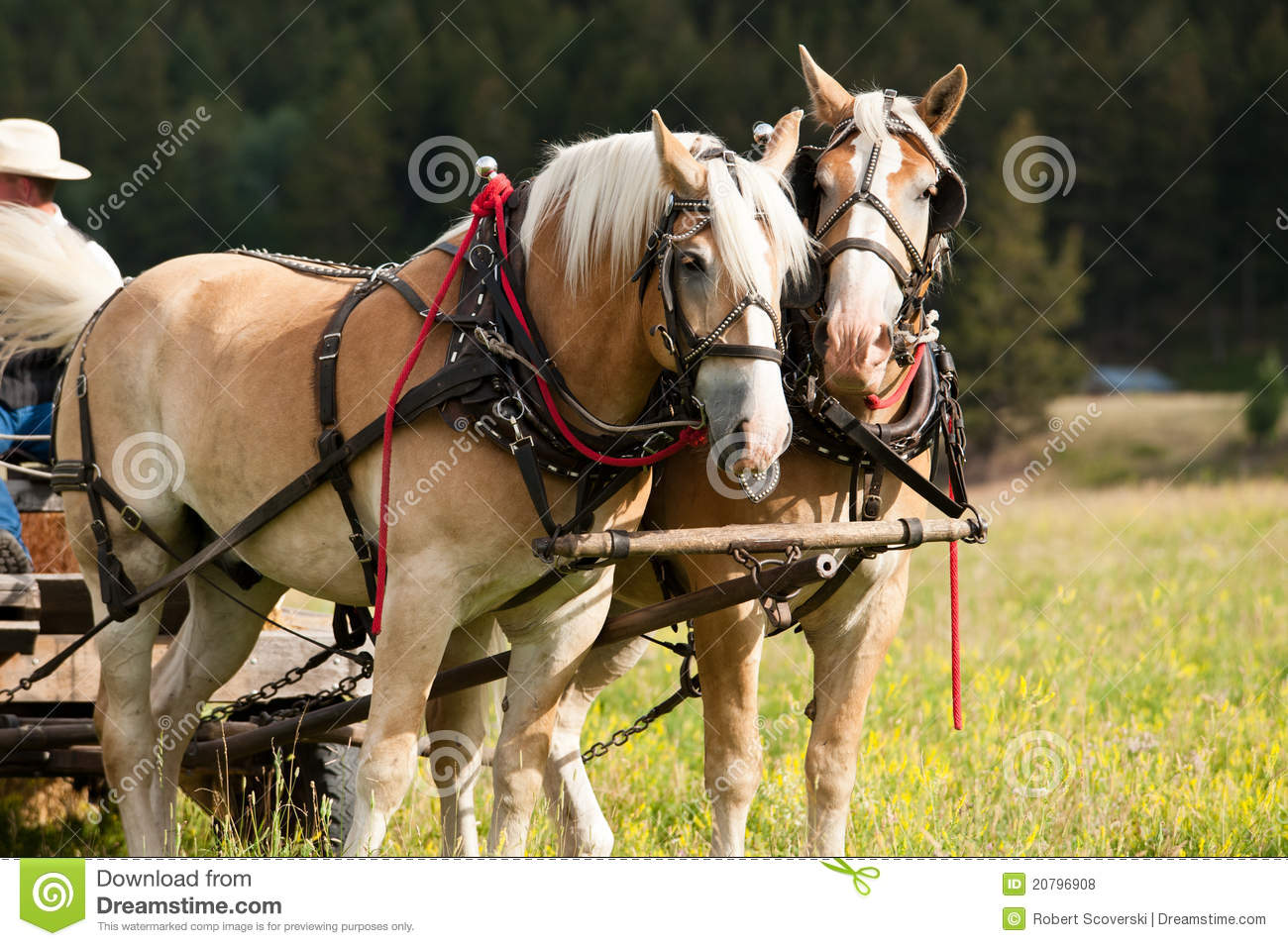 Draft Horse Team Royalty Free Stock Photos   Image  20796908