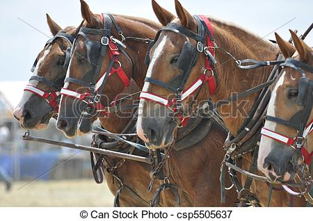 Picture Of Belgian Draft Horses 4 Abreast Close Up   Belgian Draft