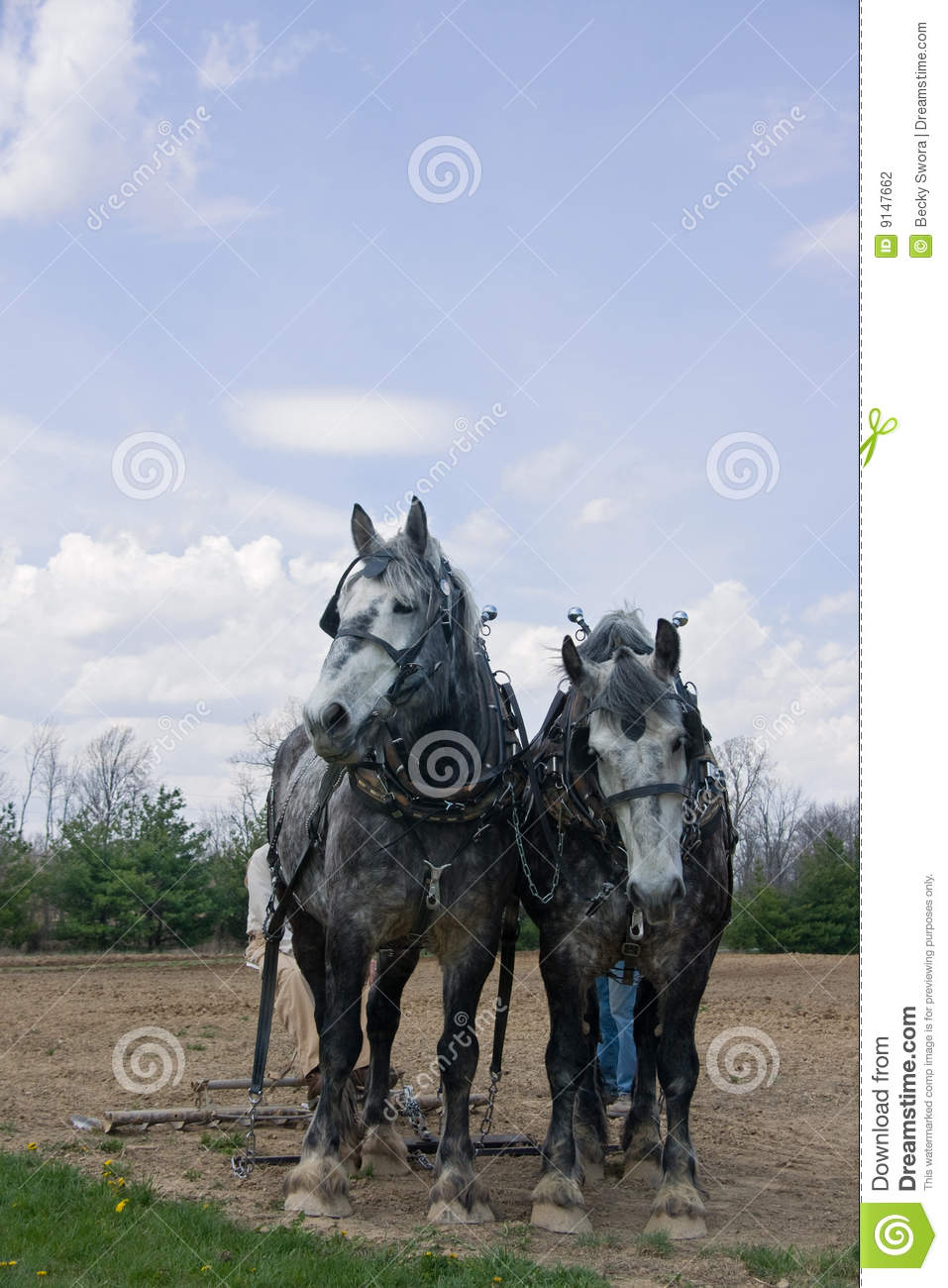 Team Of Draft Horses Hitched To A Plow In A Field