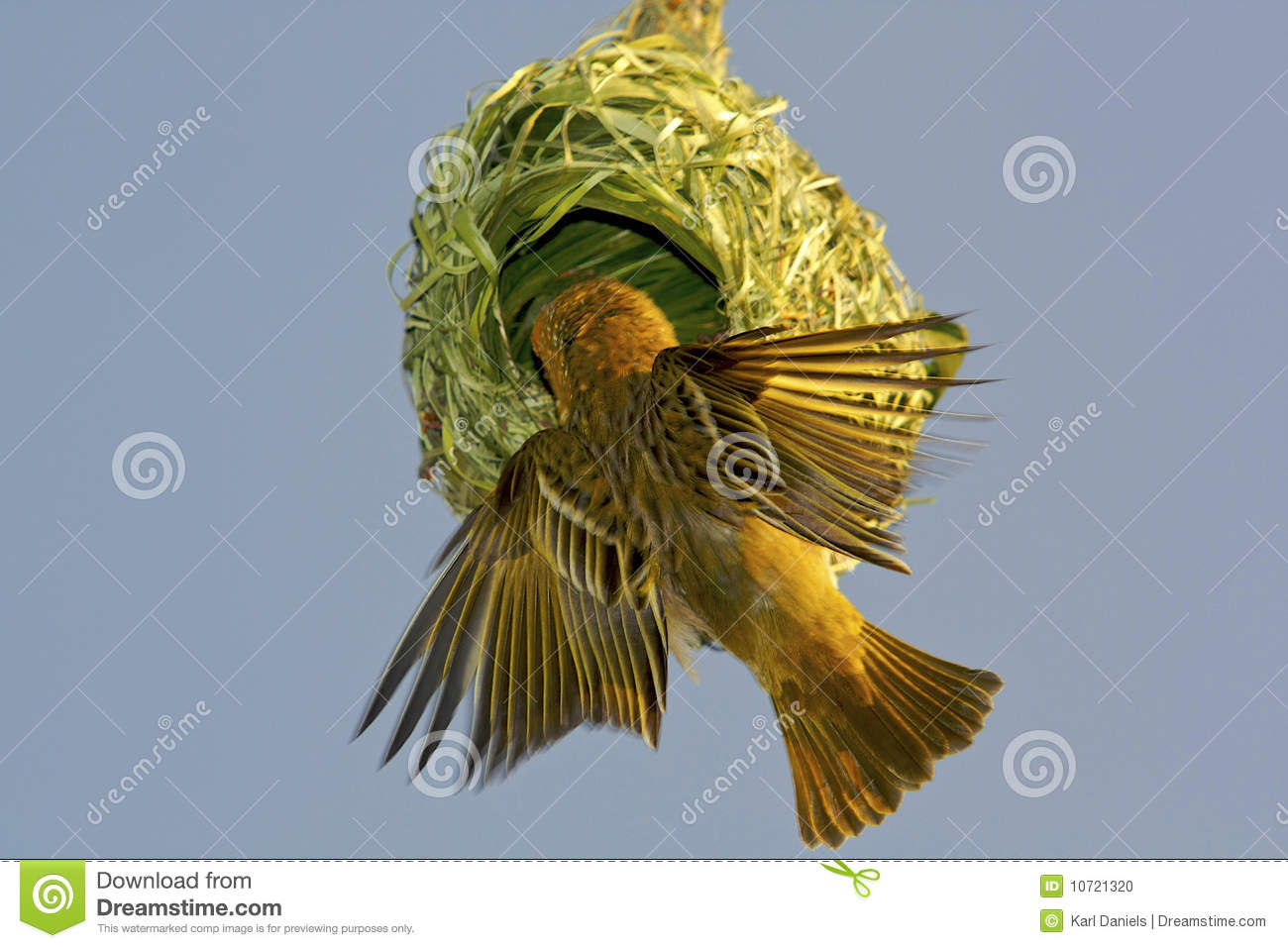 Weaver Bird Building His Nest Before The Mating Season  If The Nest