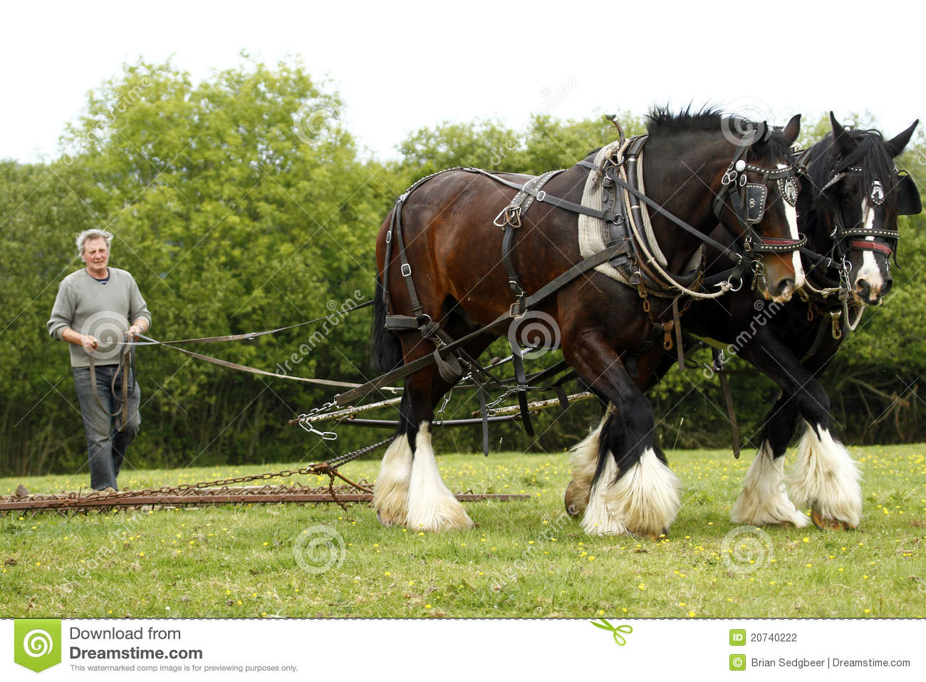 Working Shire Horses Harrowing A Grass Field In North Devon