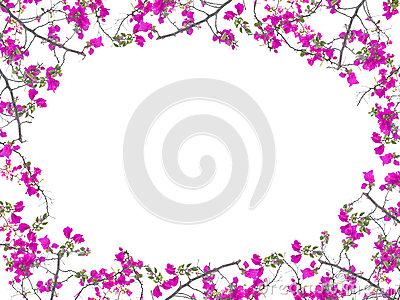 Pink Bougainvillea Flower Frame Oval Shape Isolated On White
