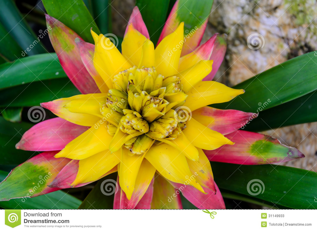 Bromeliad Stock Photos   Image  31149933