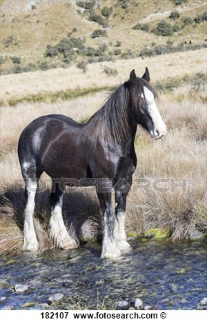 Clydesdale Horse  Black Horse Standing In A Stream  New Zealand View