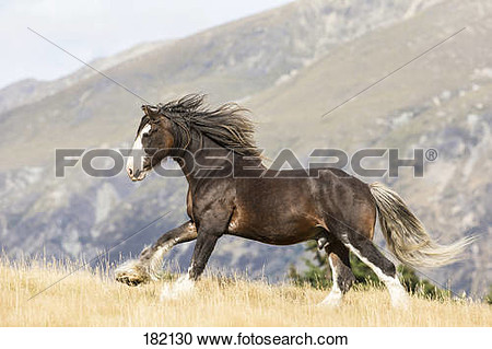 Clydesdale Horse  Chestnut Adult Galloping On A Pasture  New Zealand