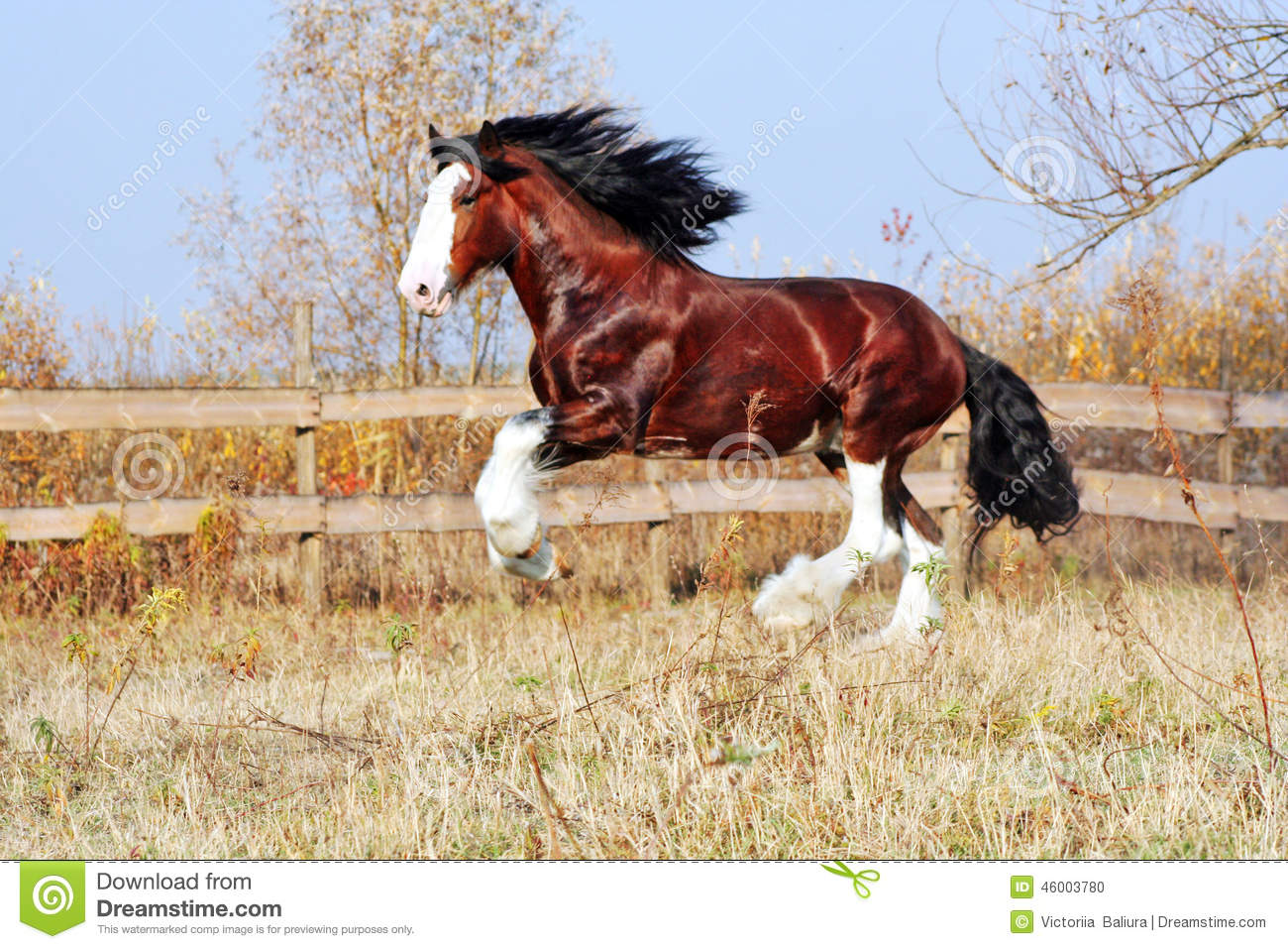 Clydesdale Horse Heavy Draft Horse Breed Bay Stallion Walks In The
