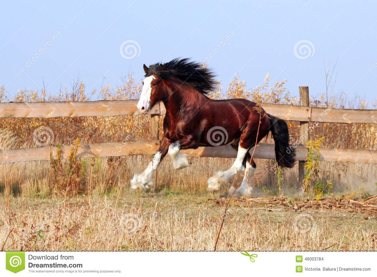 Clydesdale Horse Heavy Draft Horse Breedbay Stallion Walks In The