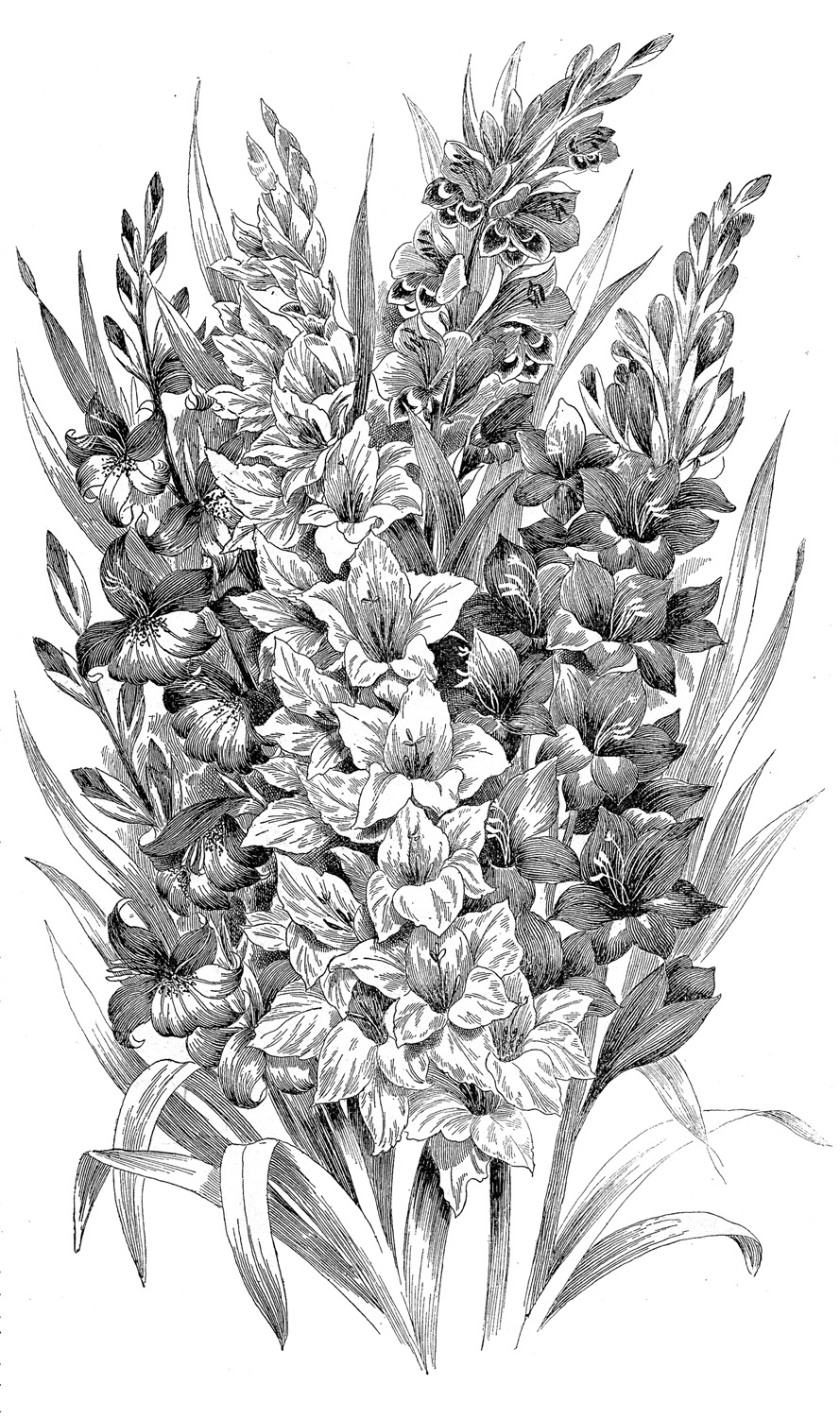 Vintage Clip Art   Black And White Gladiolus  Engraving   The Graphics