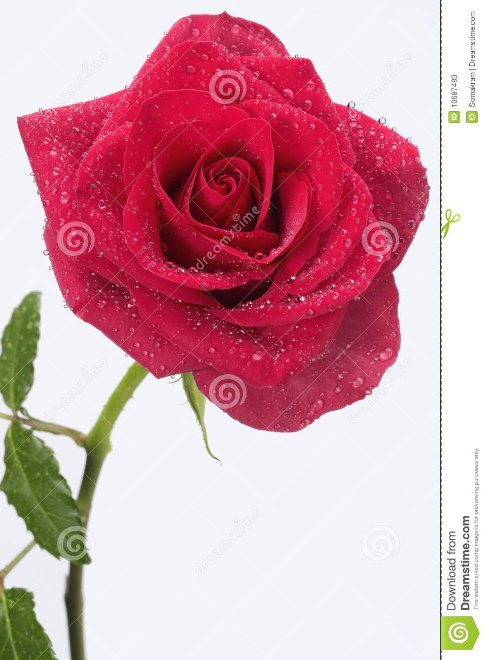 Details Of A Single Long Stem Red Rose On A White Background