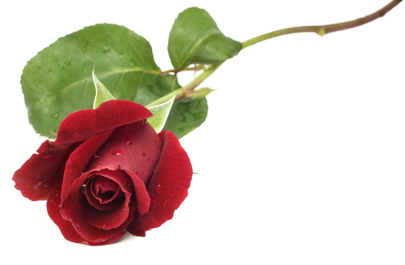 Single Rose Clipart: Long Stem Red Rose Clipart