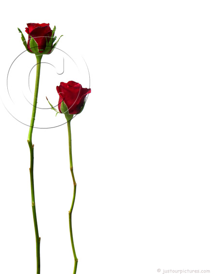 Two Red Rose Buds On Long Stems   Just Our Rose Pictures