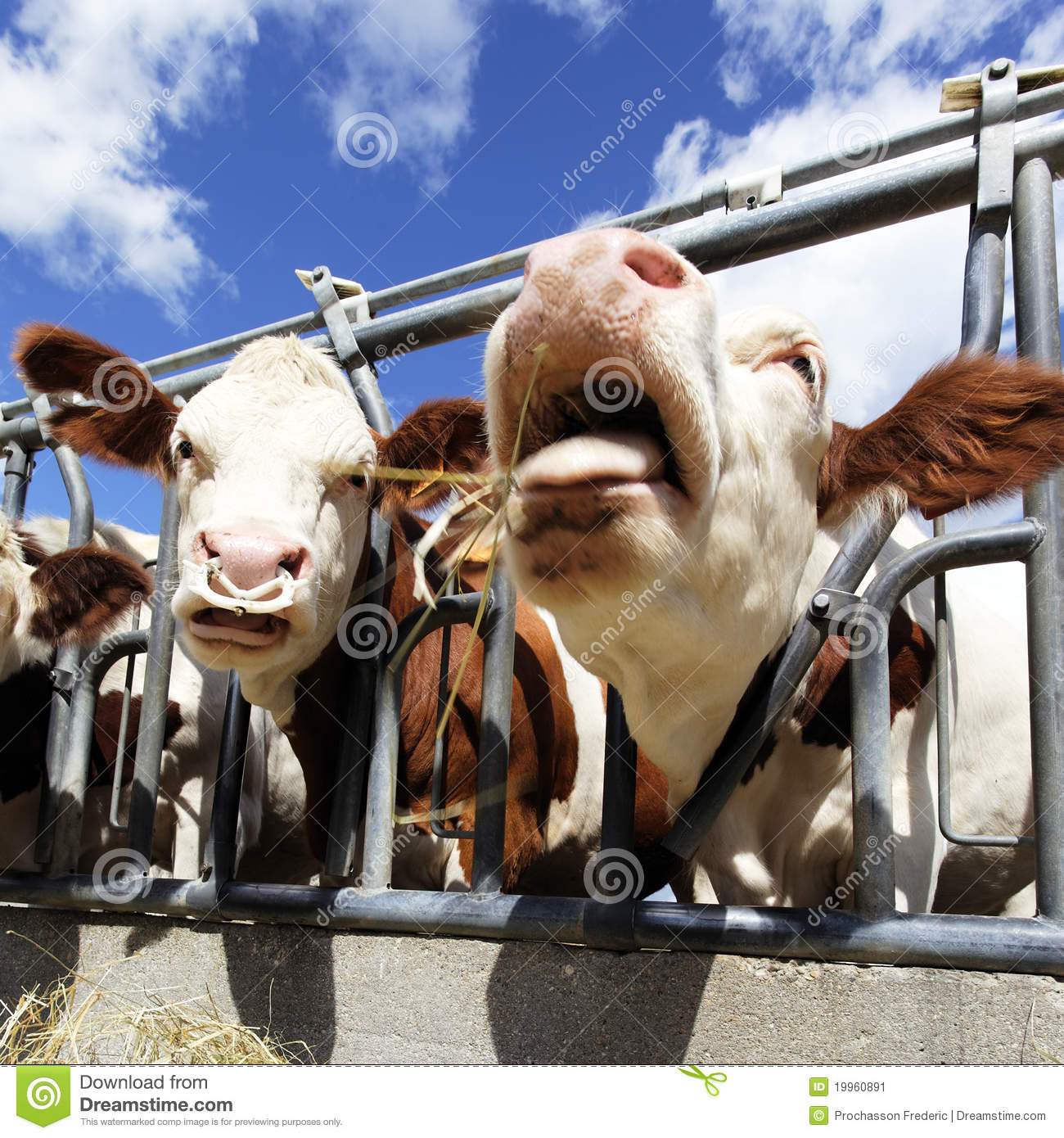 Crazy Cow Stock Image   Image  19960891