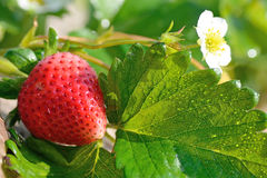 Two Ripe Strawberry Stock Photos   Images