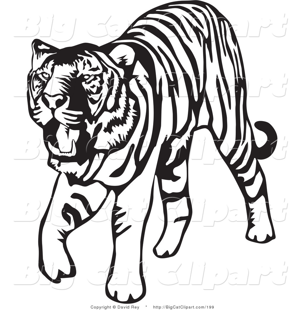 Big Cat Vector Clipart Of A Walking Black And White Tiger On White By