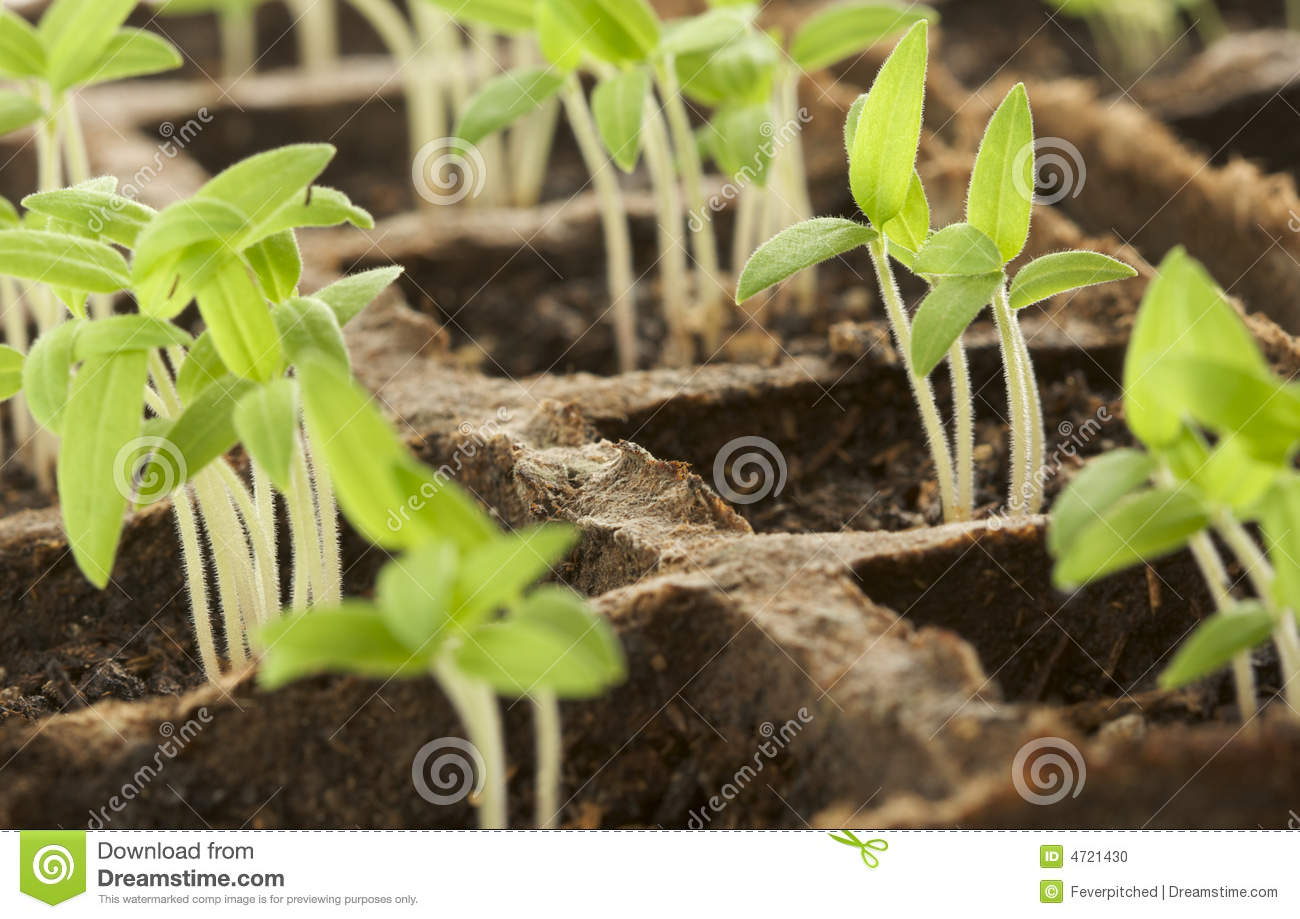 Sprouting Plants Stock Photo   Image  4721430