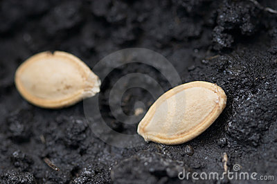 Stock Images  Two Seeds In Ground