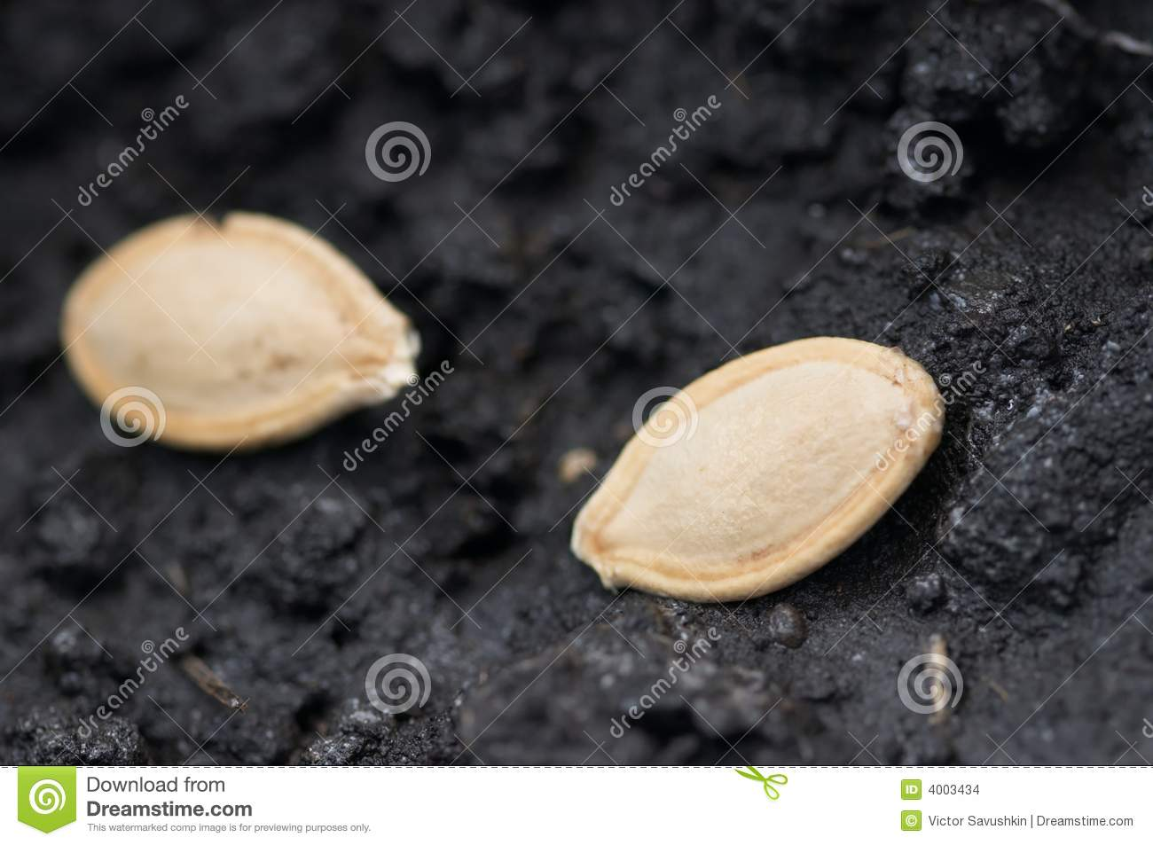 Two Seeds In Ground Stock Images   Image  4003434
