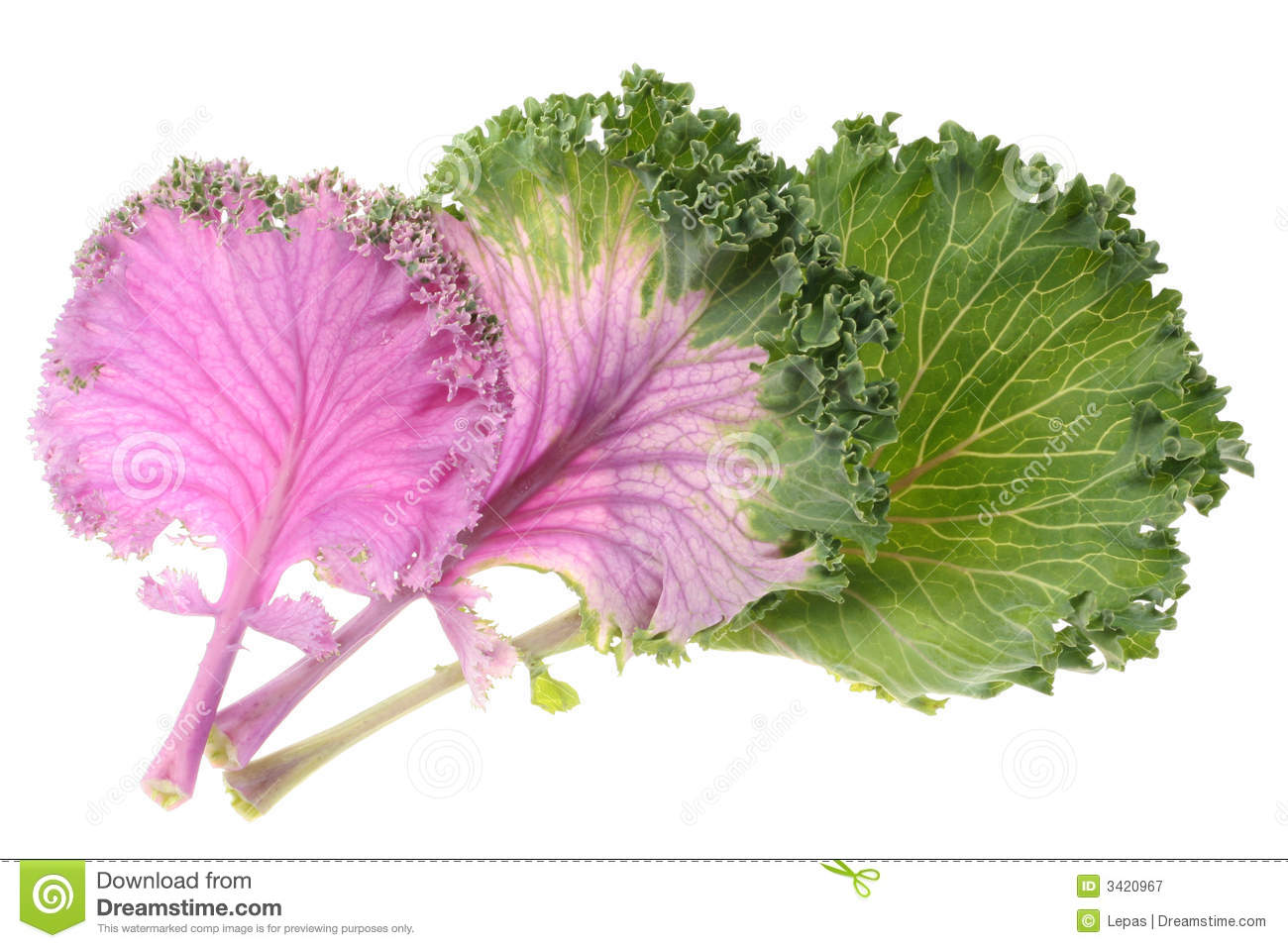 Cabbage Purple Royalty Free Stock Photography   Image  3420967