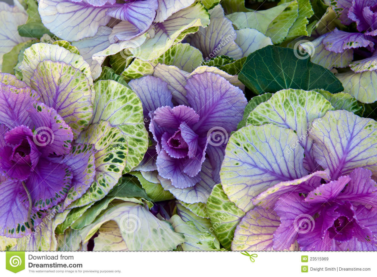 Purple Cabbage Royalty Free Stock Images   Image  23515969