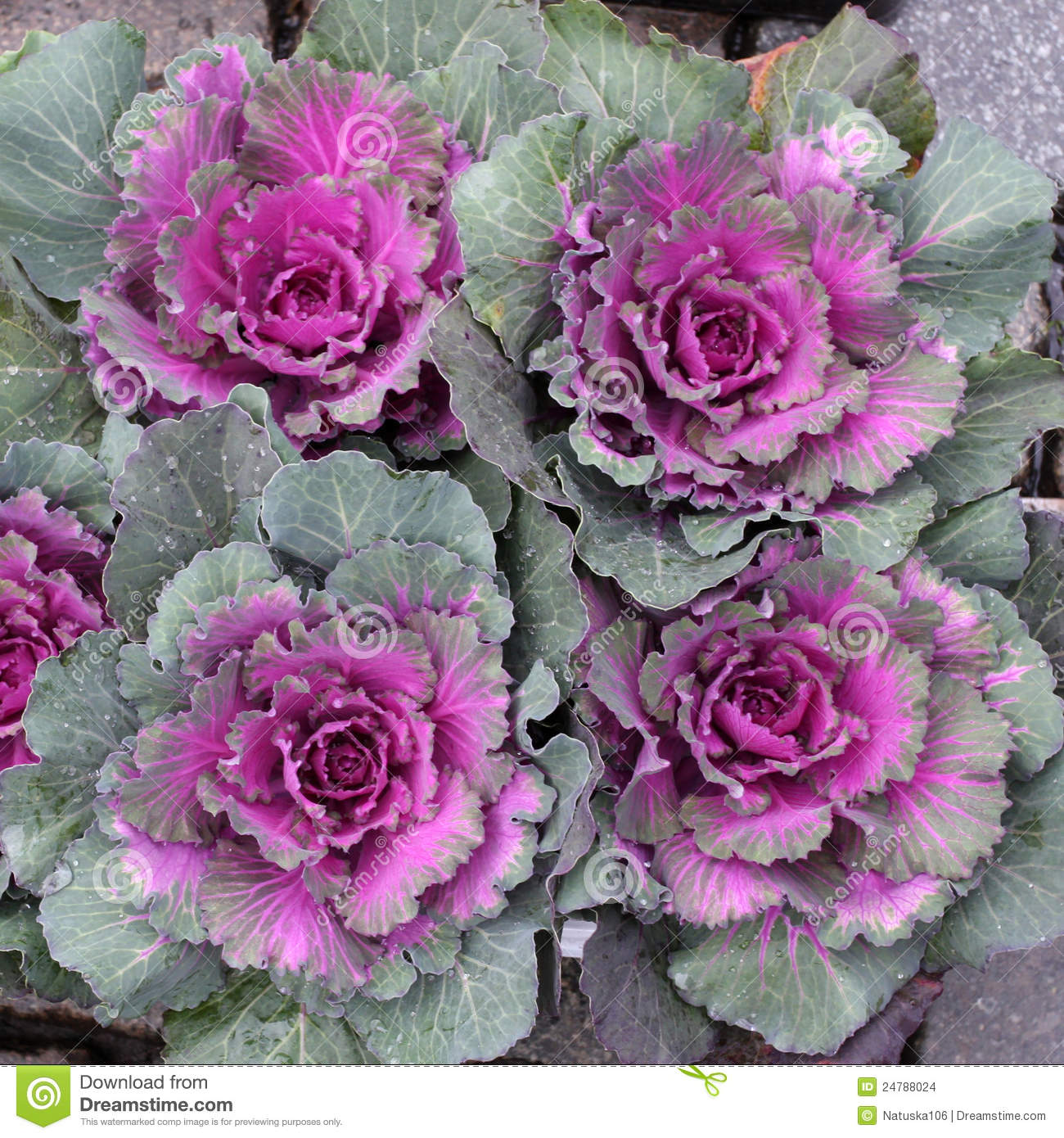 Purple Decorative Cabbage Stock Images   Image  24788024