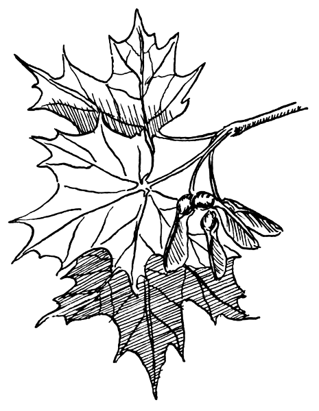 Maple Tree Clip Art   Cliparts Co