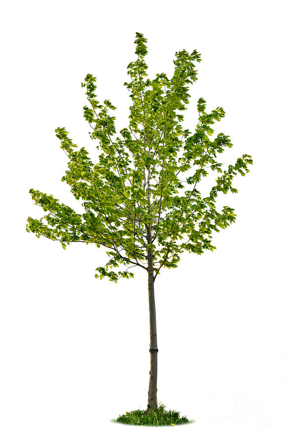 Maple Tree Sapling