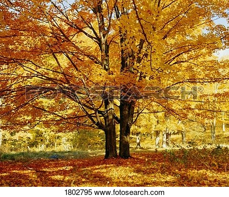 Stock Image   Sugar Maple Tree In Autumn  Fotosearch   Search Stock