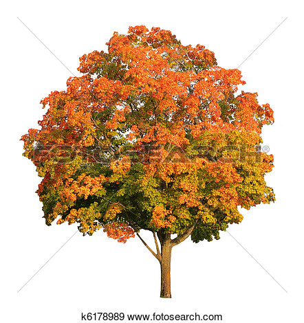 Sugar Maple Tree In The Fall Isolated On White Clipping Path Included
