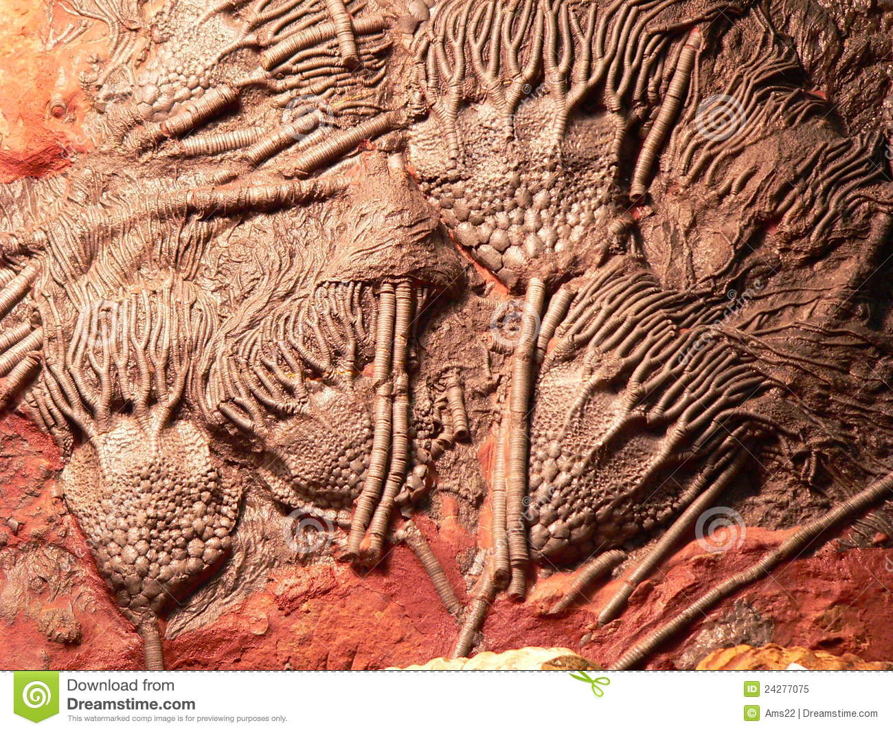 Fossil Royalty Free Stock Photo   Image  24277075