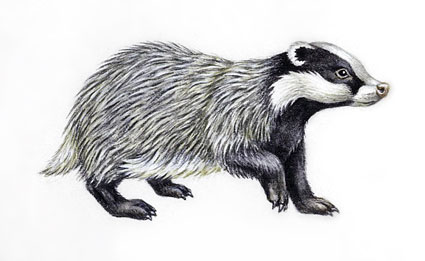 Black And White Badger Clipart - Clipart Kid